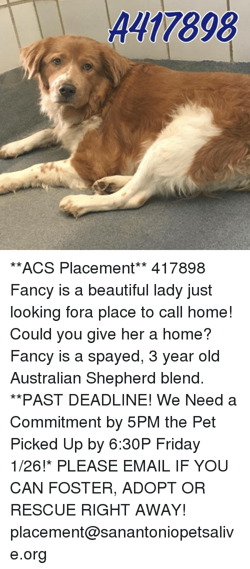 beauty lady: A477898 **ACS Placement**  417898 Fancy is a beautiful lady just looking fora place to call home! Could you give her a home? Fancy is a spayed, 3 year old Australian Shepherd blend.  **PAST DEADLINE! We Need a Commitment by 5PM the Pet Picked Up by 6:30P Friday 1/26!* PLEASE EMAIL IF YOU CAN FOSTER, ADOPT OR RESCUE RIGHT AWAY! placement@sanantoniopetsalive.org