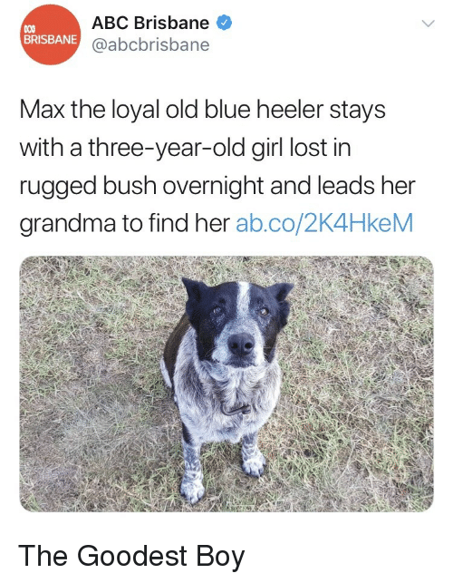 brisbane: ABC Brisbane  @abcbrisbane  BRISBANE  Max the loyal old blue heeler stays  with a three-year-old girl lost in  rugged bush overnight and leads her  grandma to find her ab.co/2K4HkeM <p>The Goodest Boy</p>