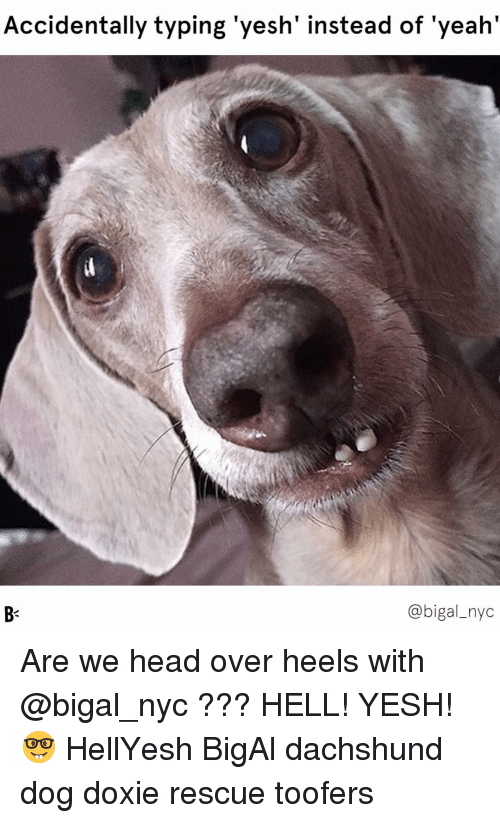 dachshund: Accidentally typing 'yesh' instead of 'yeah'  @bigal_nyc Are we head over heels with @bigal_nyc ??? HELL! YESH! 🤓 HellYesh BigAl dachshund dog doxie rescue toofers