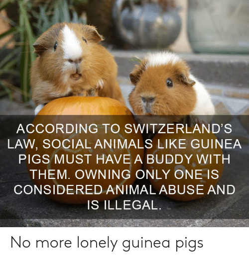 Animals, Animal, and Only One: ACCORDING TO SWITZERLAND'S  LAW, SOCIAL ANIMALS LIKE GUINEA  PIGS MUST HAVE A BUDDY WITH  THEM. OWNING ONLY ONE IS  CONSIDERED ANIMAL ABUSE AND  IS ILLEGAL. No more lonely guinea pigs