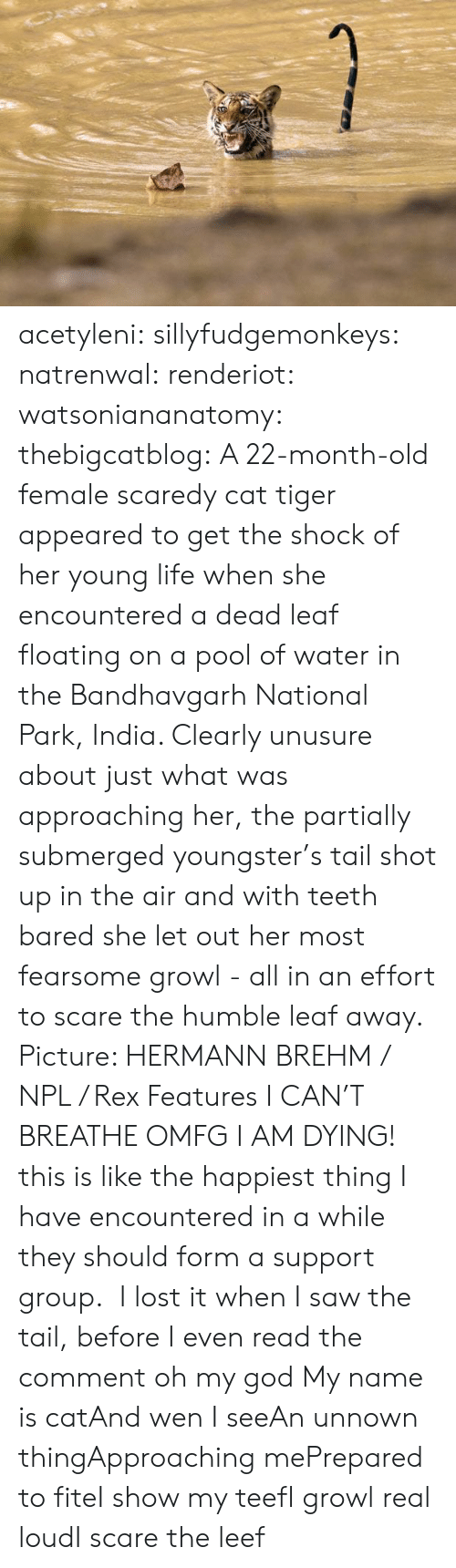 God, Life, and Oh My God: acetyleni:  sillyfudgemonkeys:  natrenwal:  renderiot:  watsoniananatomy:  thebigcatblog:  A 22-month-old female scaredy cat tiger appeared to get the shock of her young life when she encountered a dead leaf floating on a pool of water in the Bandhavgarh National Park, India. Clearly unusure about just what was approaching her, the partially submerged youngster's tail shot up in the air and with teeth bared she let out her most fearsome growl - all in an effort to scare the humble leaf away. Picture: HERMANN BREHM / NPL / Rex Features  I CAN'T BREATHE  OMFG I AM DYING! this is like the happiest thing I have encountered in a while   they should form a support group.   I lost it when I saw the tail, before I even read the comment oh my god  My name is catAnd wen I seeAn unnown thingApproaching mePrepared to fiteI show my teefI growl real loudI scare the leef