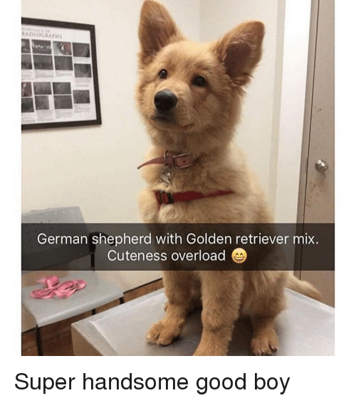 Memes, German Shepherd, and Golden Retriever: ADIOGRAFI  German shepherd with Golden retriever mix  Cuteness overload Super handsome good boy