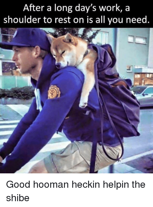 shibe: After a long day's work, a  shoulder to rest on is all you need. Good hooman heckin helpin the shibe