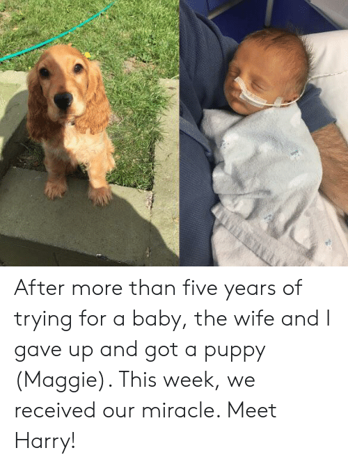 Maggie: After more than five years of trying for a baby, the wife and I gave up and got a puppy (Maggie). This week, we received our miracle. Meet Harry!