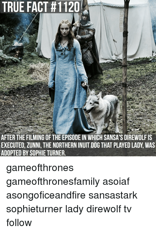 Northern Inuit Dog: AFTER THE FILMING OF THE EPISODE IN WHICH SANSA'S DIREWOLFIS  EXECUTED, ZUNNI, THE NORTHERN INUIT DOG THAT PLAYEDLADY WAS  ADOPTED BY SOPHIE TURNER gameofthrones gameofthronesfamily asoiaf asongoficeandfire sansastark sophieturner lady direwolf tv follow