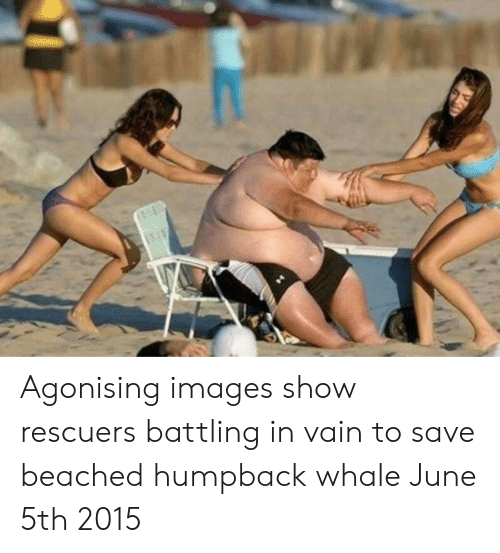 beached: Agonising images show rescuers battling in vain to save beached humpback whale June 5th 2015