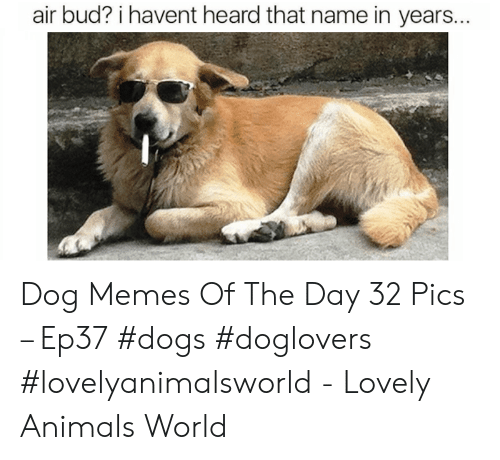 Animals, Dogs, and Memes: air bud? i havent heard that name in years... Dog Memes Of The Day 32 Pics – Ep37 #dogs #doglovers #lovelyanimalsworld - Lovely Animals World