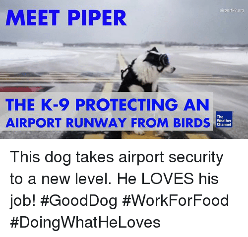 Weather Channel: airportk9.org  MEET PIPER  THE K-9 PROTECTING AN  The  AIRPORT RUNWAY FROM BIRDS  Weather  Channel This dog takes airport security to a new level. He LOVES his job! #GoodDog #WorkForFood #DoingWhatHeLoves