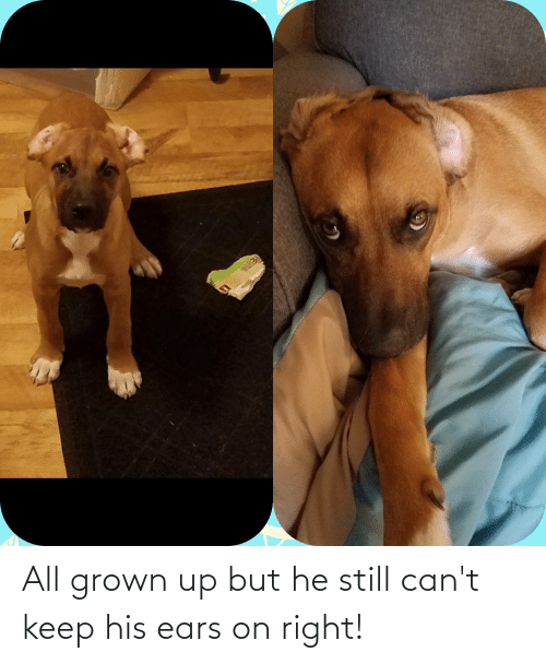 ears: All grown up but he still can't keep his ears on right!