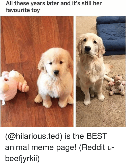 Animal Meme: All these years later and it's still her  favourite toy (@hilarious.ted) is the BEST animal meme page! (Reddit u-beefjyrkii)