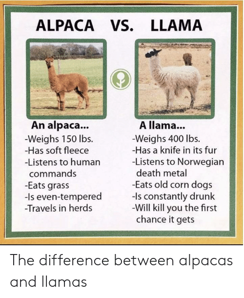 corn: ALPACA VS. LLAMA  An alpaca...  A llama...  -Weighs 150 lbs  -Has soft fleece  -Weighs 400 lbs.  -Has a knife in its fur  -Listens to Norwegian  death metal  -Eats old corn dogs  -ls constantly drunk  -Will kill you the first  chance it gets  -Listens to human  commands  -Eats grass  -Is even-tempered  Travels in herds The difference between alpacas and llamas