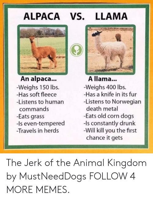 Commands: ALPACA Vs. LLAMA  An alpaca...  Weighs 150 lbs.  -Has soft fleece  -Listens to human  A llama...  -Weighs 400 lbs.  -Has a knife in its fur  -Listens to Norwegian  death metal  -Eats old corn dogs  -Is constantly drunk  -Will kill you the first  chance it gets  commands  -Eats grass  even-tempered  -Travels in herds The Jerk of the Animal Kingdom by MustNeedDogs FOLLOW 4 MORE MEMES.