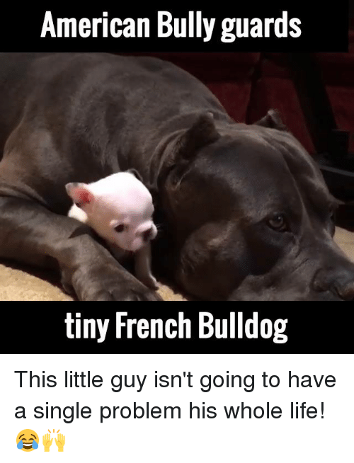 French Bulldogs: American Bully guards  tiny French Bulldog This little guy isn't going to have a single problem his whole life! 😂🙌