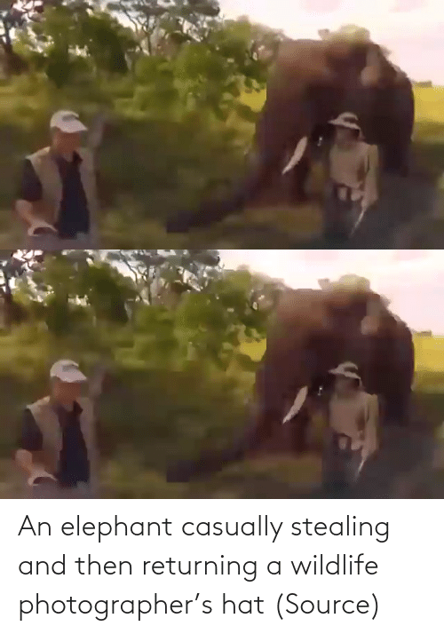 and then: An elephant casually stealing and then returning a wildlife photographer's hat (Source)
