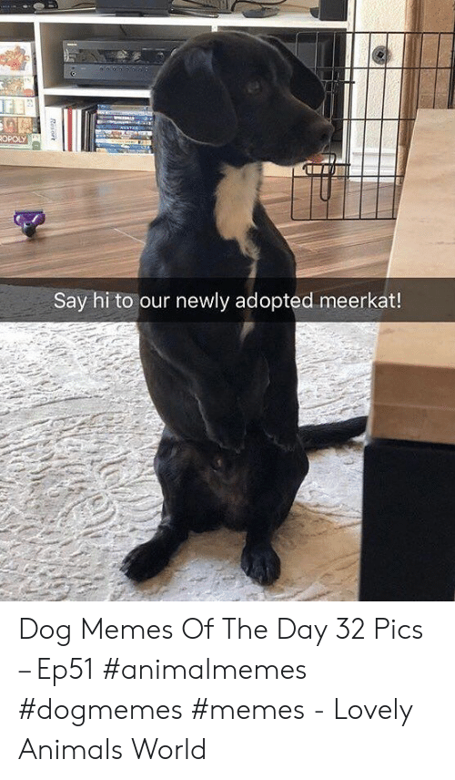 Animals, Memes, and Meerkat: ANATA  ROPOLY  Say hi to our newly adopted meerkat!  Resort Dog Memes Of The Day 32 Pics – Ep51 #animalmemes #dogmemes #memes - Lovely Animals World