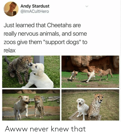 """Awww: Andy Stardust  @ImACultHero  Just learned that Cheetahs are  really nervous animals, and some  zoos give them """"support dogs"""" to  relax Awww never knew that"""