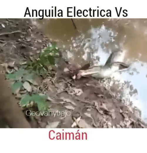 caiman: Anguila Electrica Vs  Geovany re  Caiman