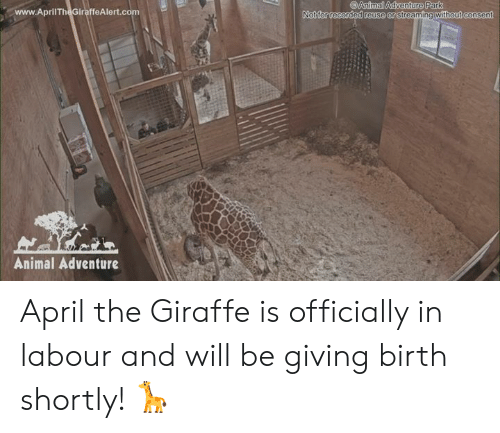 Dank, Animal, and Giraffe: Animal Adventure Park  www.AprilTheGiraffeAlert.co  Not for recorded reuse or  streaming without consen  Animal Adventure April the Giraffe is officially in labour and will be giving birth shortly! 🦒