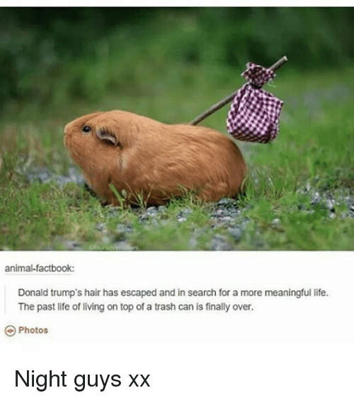Life, Memes, and Trash: animal-factbook:  Donald trump's hair has escaped and in search for a more meaningful life.  The past life of living on top of a trash can is finally over.  Photos Night guys xx