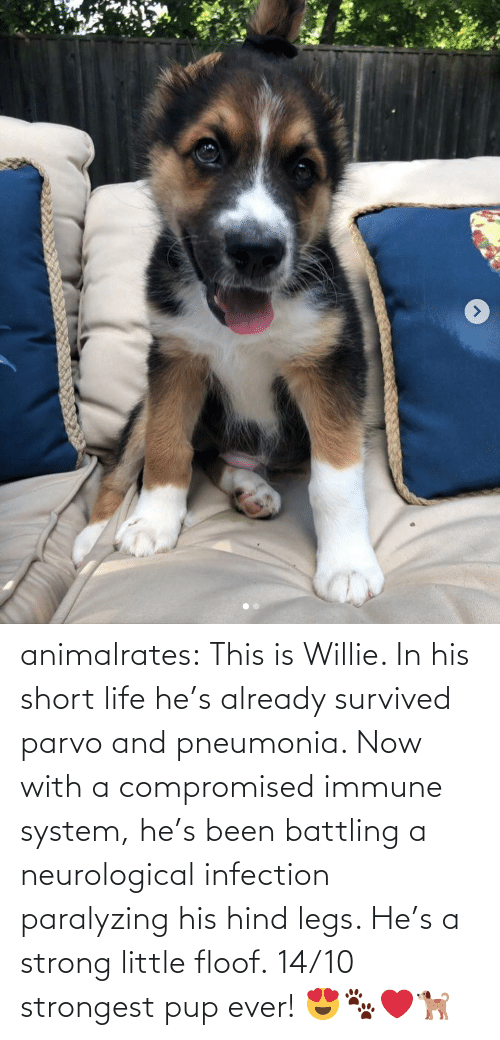 short: animalrates: This is Willie. In his short life he's already survived parvo and pneumonia. Now with a compromised immune system, he's been battling a neurological infection paralyzing his hind legs. He's a strong little floof. 14/10 strongest pup ever! 😍🐾❤️🐕