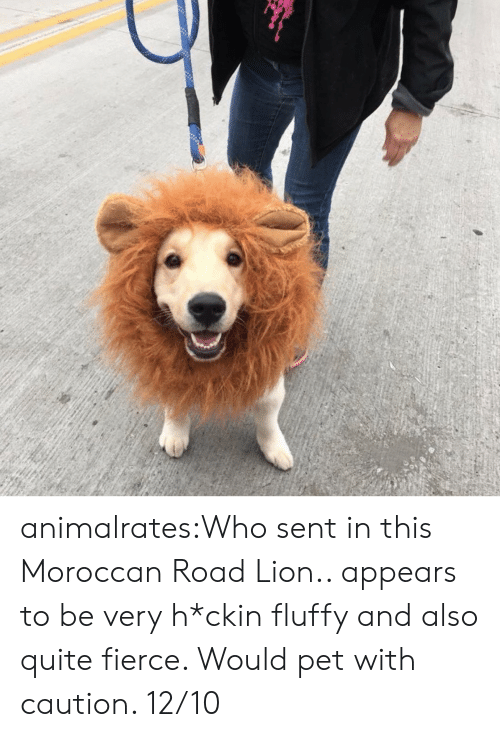 Target, Tumblr, and Blog: animalrates:Who sent in this Moroccan Road Lion.. appears to be very h*ckin fluffy and also quite fierce. Would pet with caution. 12/10