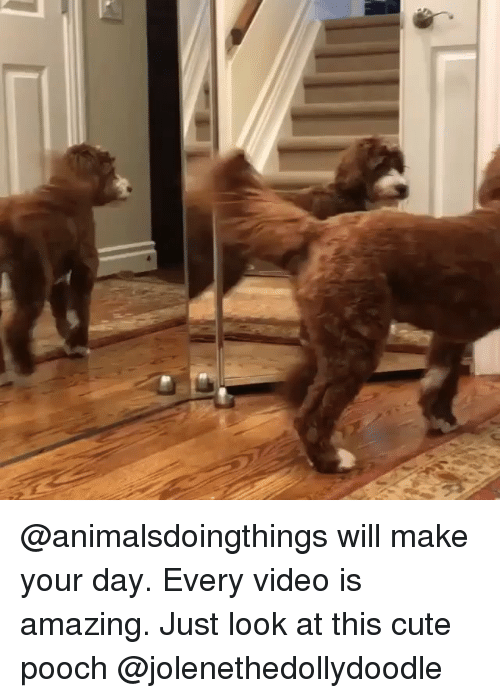 pooch: @animalsdoingthings will make your day. Every video is amazing. Just look at this cute pooch @jolenethedollydoodle
