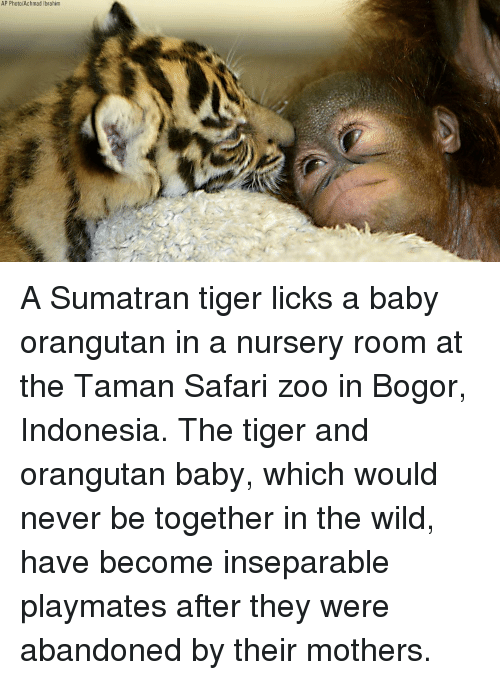 Memes, Indonesia, and Safari: AP Photo/Achmad Ibrahim A Sumatran tiger licks a baby orangutan in a nursery room at the Taman Safari zoo in Bogor, Indonesia. The tiger and orangutan baby, which would never be together in the wild, have become inseparable playmates after they were abandoned by their mothers.