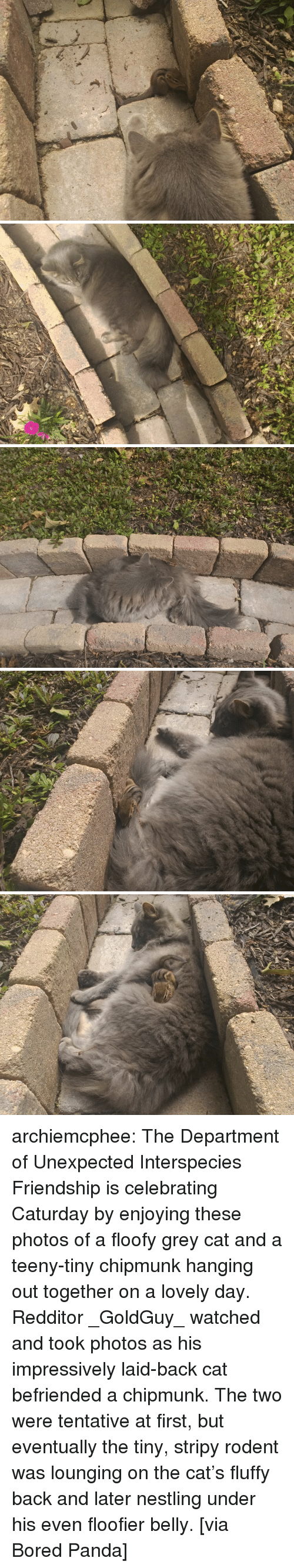 Aww, Bored, and Caturday: archiemcphee: The Department of Unexpected Interspecies Friendship is celebrating Caturday by enjoying these photos of a floofy grey cat and a teeny-tiny chipmunk hanging out together on a lovely day. Redditor _GoldGuy_ watched and took photos as his impressively laid-back cat befriended a chipmunk. The two were tentative at first, but eventually the tiny, stripy rodent was lounging on the cat's fluffy back and later nestling under his even floofier belly. [via Bored Panda]