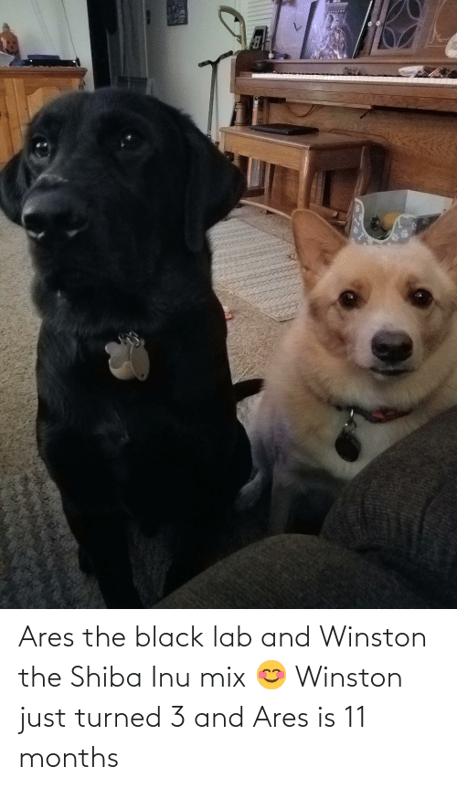 Shiba Inu: Ares the black lab and Winston the Shiba Inu mix 😊 Winston just turned 3 and Ares is 11 months