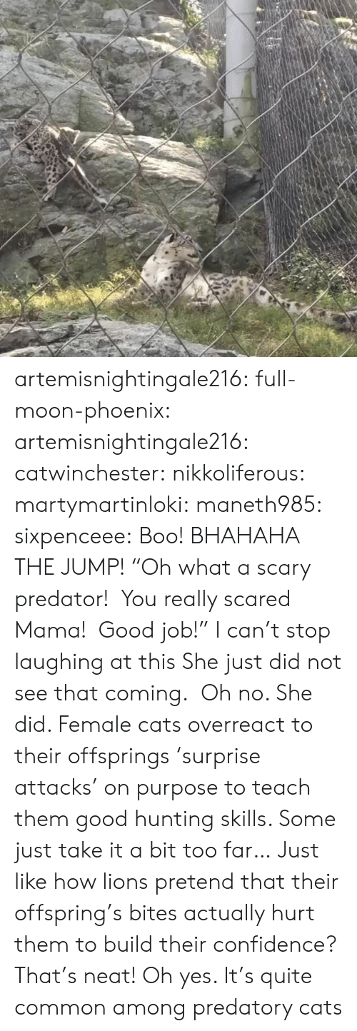 "Hunting: artemisnightingale216: full-moon-phoenix:   artemisnightingale216:   catwinchester:   nikkoliferous:  martymartinloki:  maneth985:  sixpenceee: Boo! BHAHAHA THE JUMP!  ""Oh what a scary predator!  You really scared Mama!  Good job!""   I can't stop laughing at this  She just did not see that coming.    Oh no. She did. Female cats overreact to their offsprings 'surprise attacks' on purpose to teach them good hunting skills. Some just take it a bit too far…   Just like how lions pretend that their offspring's bites actually hurt them to build their confidence? That's neat!   Oh yes. It's quite common among predatory cats"