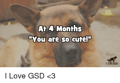 """You Are So Cute: At 4 Months  """"You are so cute!""""  GSD I Love GSD  <3"""