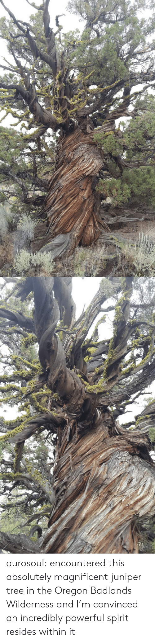 Incredibly: aurosoul: encountered this absolutely magnificent juniper tree in the Oregon Badlands Wilderness and I'm convinced an incredibly powerful spirit resides within it
