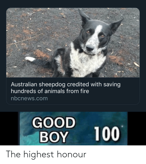 good boy: Australian sheepdog credited with saving  hundreds of animals from fire  nbcnews.com  GOOD  BOY  100 The highest honour