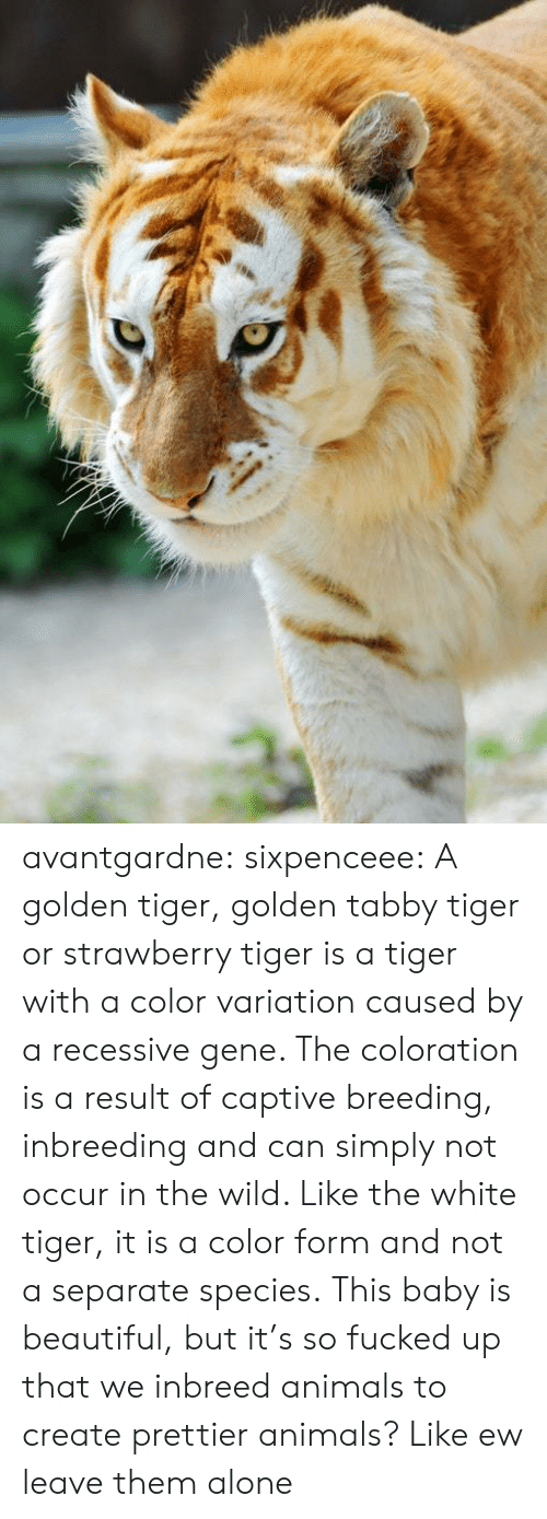 captive: avantgardne: sixpenceee:  A golden tiger, golden tabby tiger or strawberry tiger is a tiger with a color variation caused by a recessive gene. The coloration is a result of captive breeding, inbreeding and can simply not occur in the wild. Like the white tiger, it is a color form and not a separate species.  This baby is beautiful, but it's so fucked up that we inbreed animals to create prettier animals? Like ew leave them alone