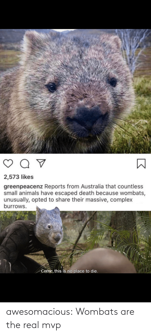real: awesomacious:  Wombats are the real mvp