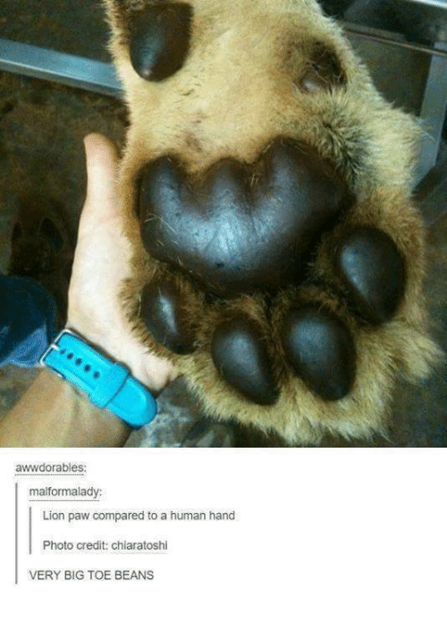 Handness: awwdorables:  malformalady:  Lion paw compared to a human hand  Photo credit: chiaratoshi  VERY BIG TOE BEANS