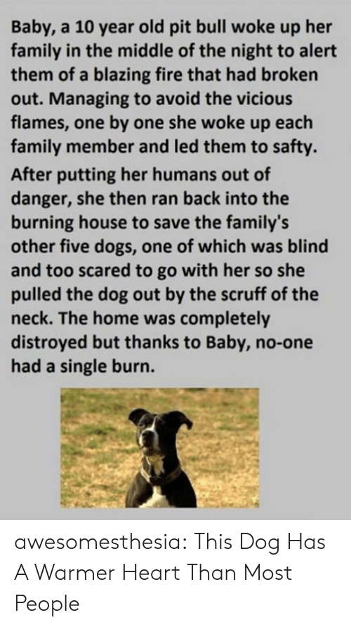 One By One: Baby, a 10 year old pit bull woke up her  family in the middle of the night to alert  them of a blazing fire that had broken  out. Managing to avoid the vicious  flames, one by one she woke up each  family member and led them to safty.  After putting her humans out of  danger, she then ran back into the  burning house to save the family's  other five dogs, one of which was blind  and too scared to go with her so she  pulled the dog out by the scruff of the  neck. The home was completely  distroyed but thanks to Baby, no-one  had a single burn. awesomesthesia:  This Dog Has A Warmer Heart Than Most People