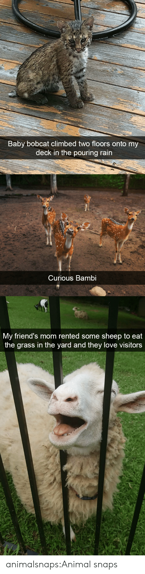 Floors: Baby bobcat climbed two floors  deck in the pouring rain  onto my   Curious Bambi   My friend's mom rented some sheep to eat  the grass in the yard and they love visitors animalsnaps:Animal snaps