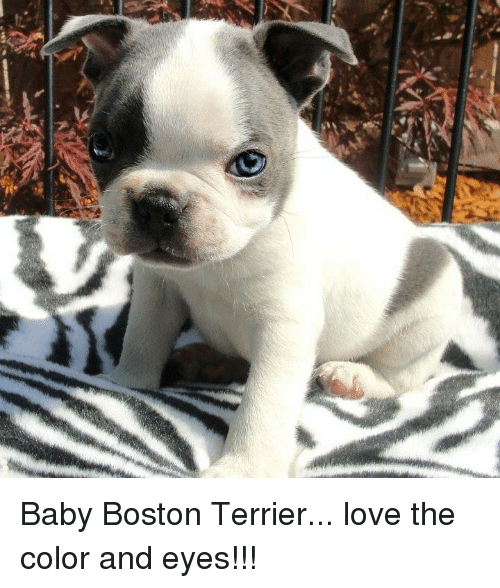 Boston Terrier: Baby Boston Terrier... love the color and eyes!!!