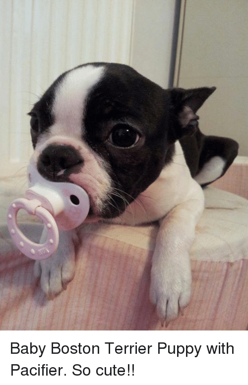 Boston Terrier: Baby Boston Terrier Puppy with Pacifier. So cute!!