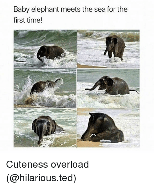 Baby Elephant: Baby elephant meets the sea for the  first time! Cuteness overload (@hilarious.ted)