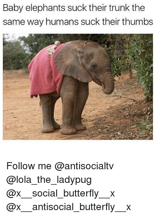 Memes, Butterfly, and Antisocial: Baby elephants suck their trunk the  same way humans suck their thumbs Follow me @antisocialtv @lola_the_ladypug @x__social_butterfly__x @x__antisocial_butterfly__x