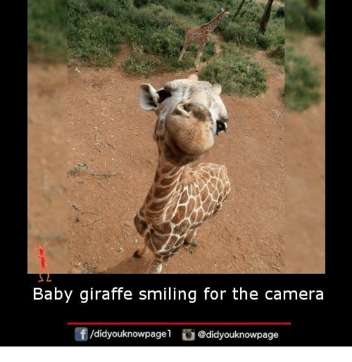 Memes, Giraffe, and 🤖: Baby giraffe smiling for the camera  /didyouknowpagel  @didyouknowpage