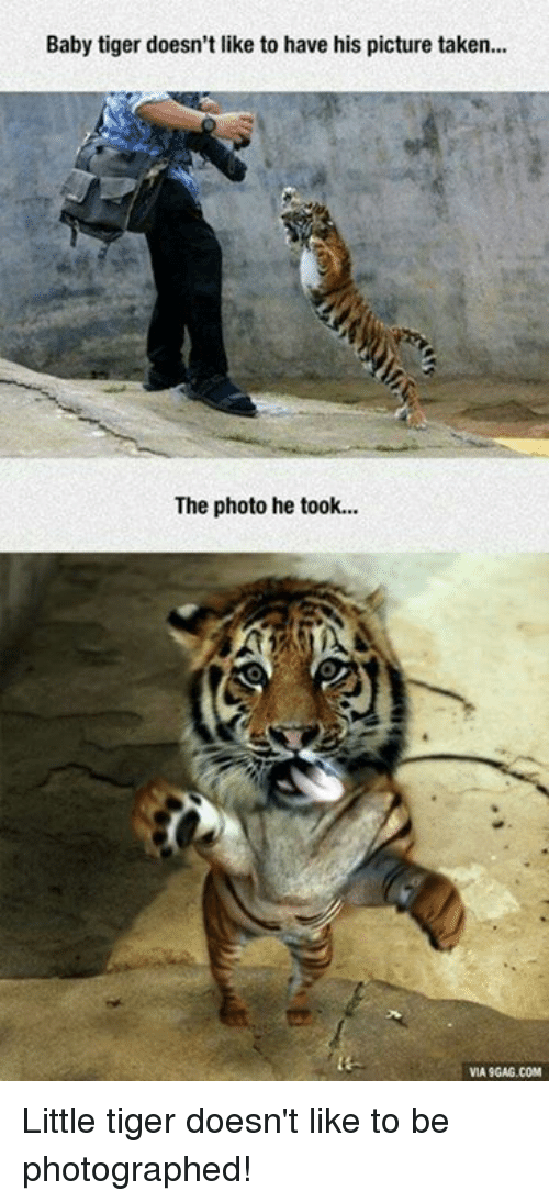 Via9Gag: Baby tiger doesn't like to have his picture taken...  The photo he took...  VIA9GAG.COM Little tiger doesn't like to be photographed!