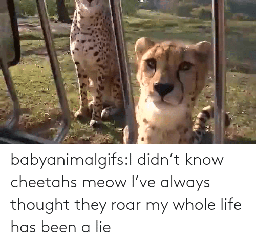 my-whole-life: babyanimalgifs:I didn't know cheetahs meow I've always thought they roar my whole life has been a lie