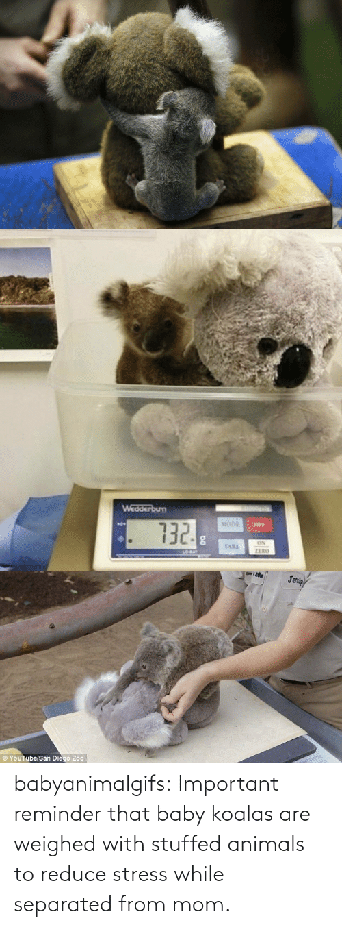 Animals: babyanimalgifs:  Important reminder that baby koalas are weighed with stuffed animals to reduce stress while separated from mom.
