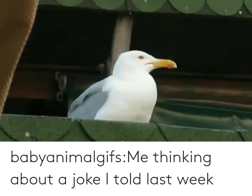 Thinking About: babyanimalgifs:Me thinking about a joke I told last week