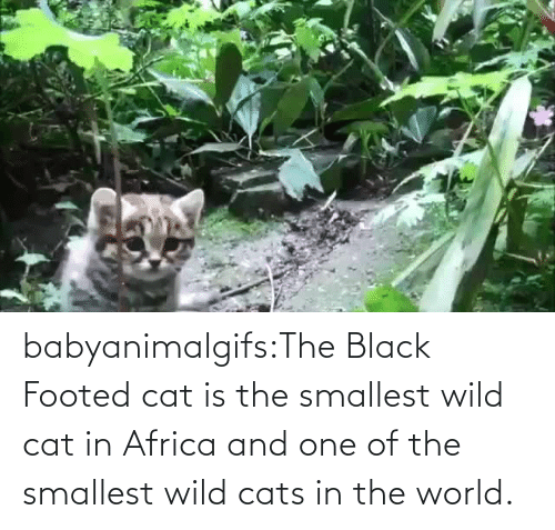 The Black: babyanimalgifs:The Black Footed cat is the smallest wild cat in Africa and one of the smallest wild cats in the world.