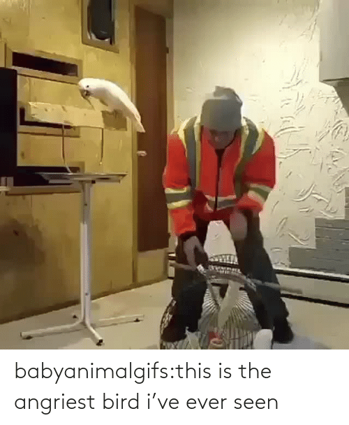 ever: babyanimalgifs:this is the angriest bird i've ever seen