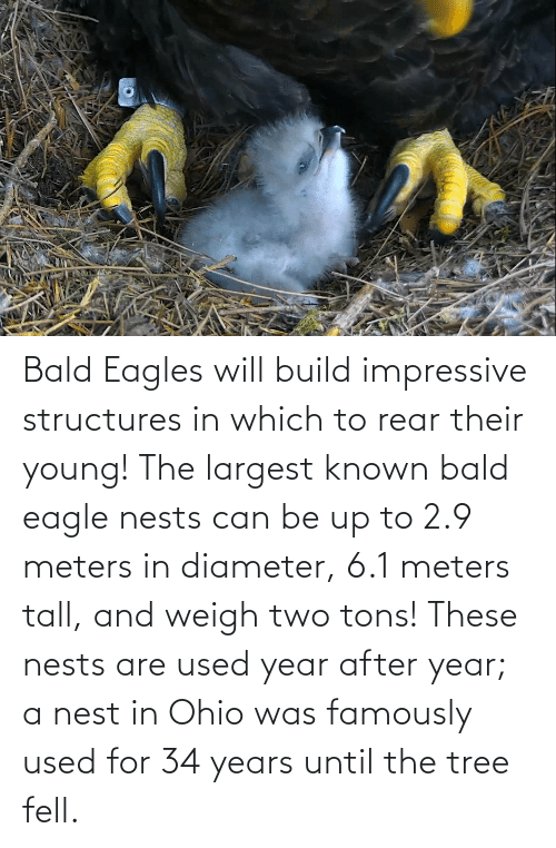 Nest: Bald Eagles will build impressive structures in which to rear their young! The largest known bald eagle nests can be up to 2.9 meters in diameter, 6.1 meters tall, and weigh two tons! These nests are used year after year; a nest in Ohio was famously used for 34 years until the tree fell.